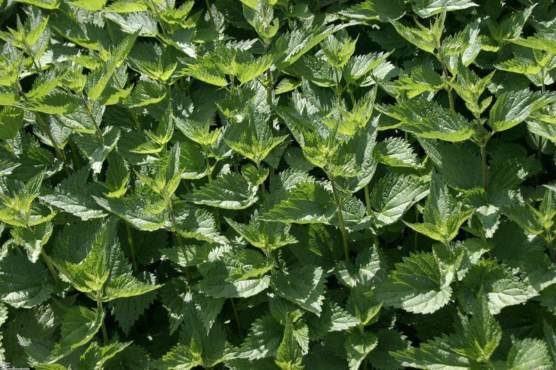 HerbalTea02 10 лучших травяных чаев для похудения