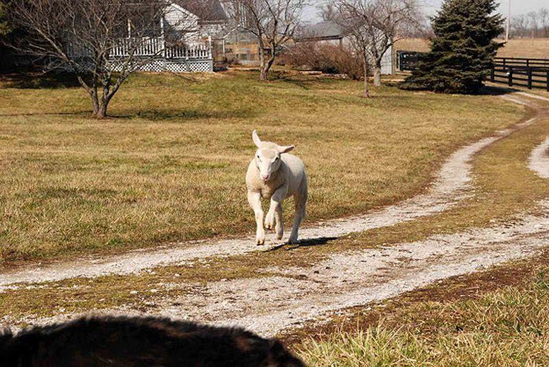 Maisie03 Очаровательная овечка Мейзи