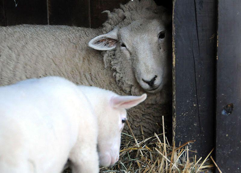 Maisie06 Очаровательная овечка Мейзи