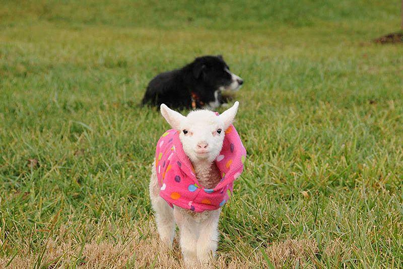 Maisie11 Очаровательная овечка Мейзи