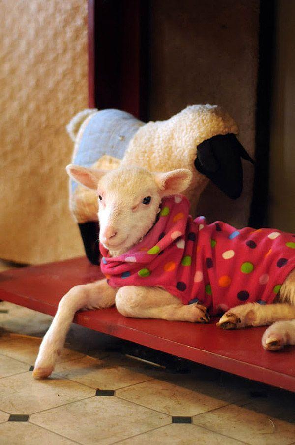 Maisie12 Очаровательная овечка Мейзи