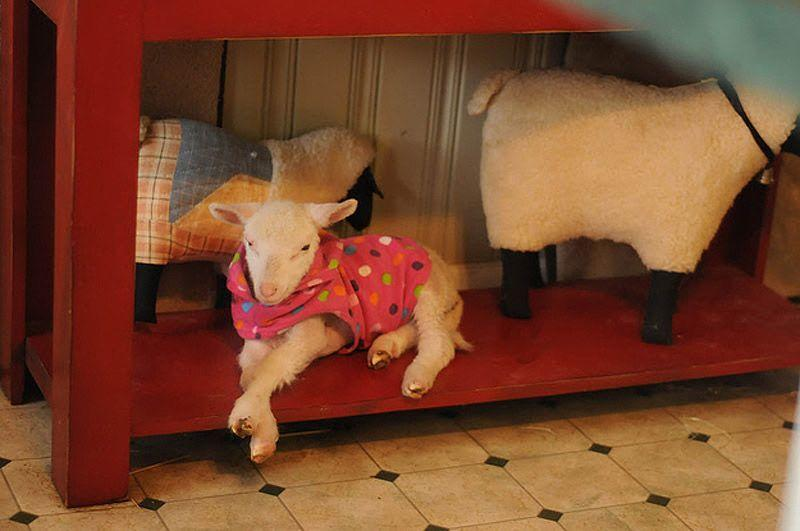 Maisie13 Очаровательная овечка Мейзи