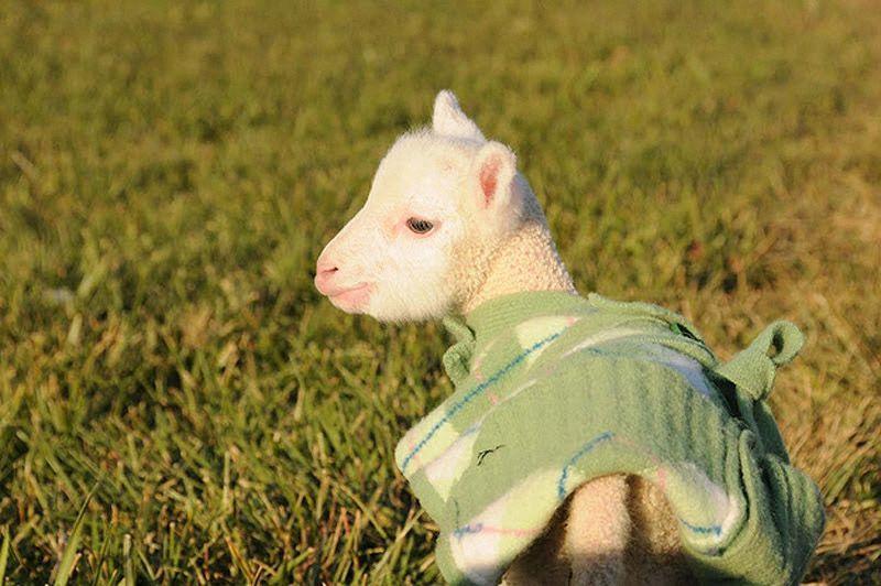 Maisie14 Очаровательная овечка Мейзи