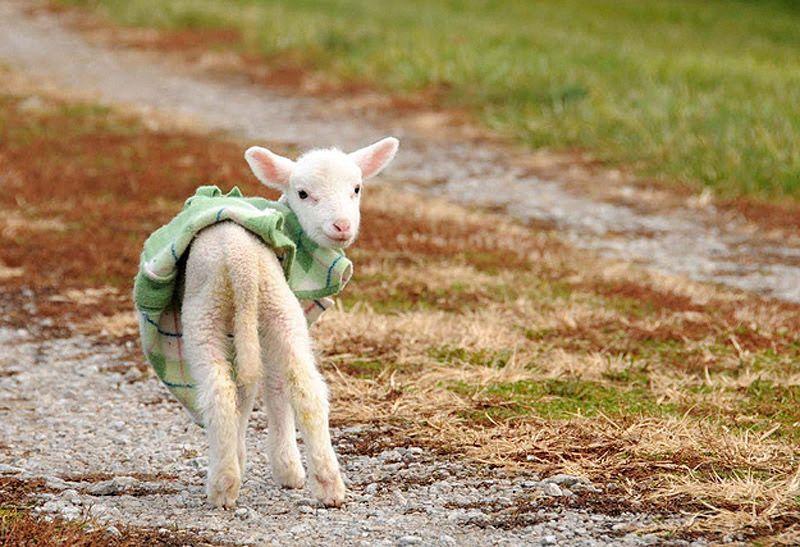 Maisie15 Очаровательная овечка Мейзи
