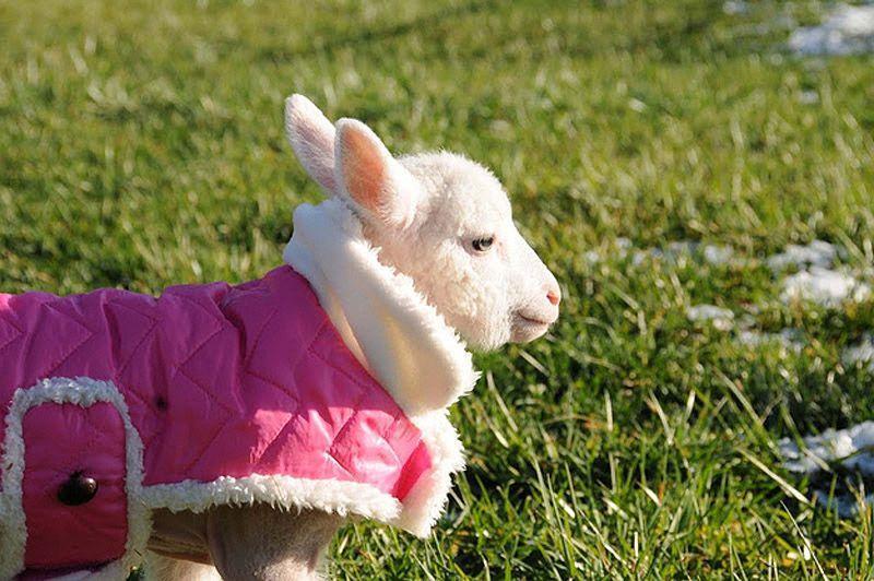 Maisie16 Очаровательная овечка Мейзи