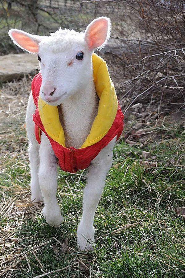 Maisie18 Очаровательная овечка Мейзи