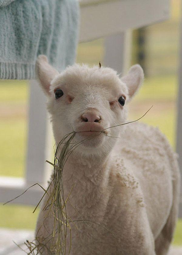 Maisie20 Очаровательная овечка Мейзи