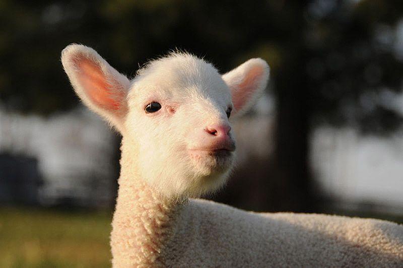 Maisie21 Очаровательная овечка Мейзи