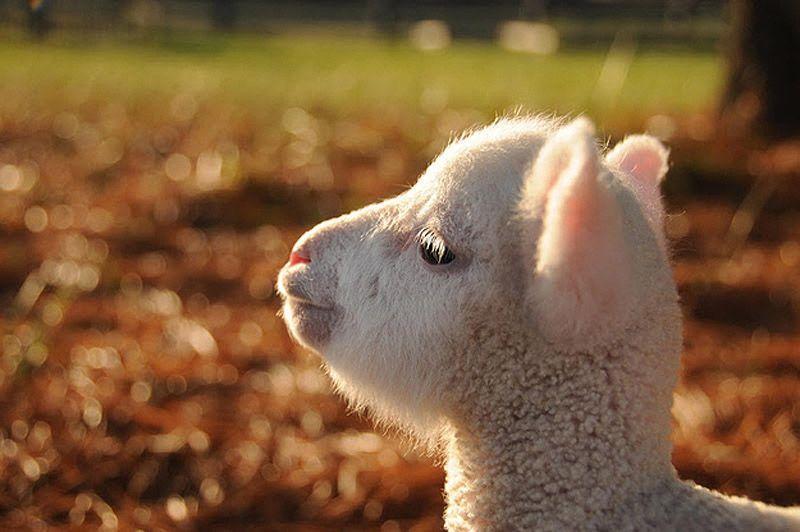 Maisie22 Очаровательная овечка Мейзи