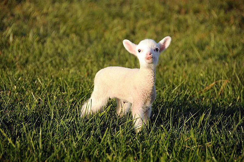 Maisie23 Очаровательная овечка Мейзи