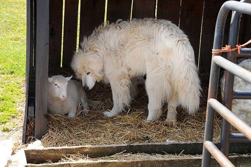 Maisie25 Очаровательная овечка Мейзи