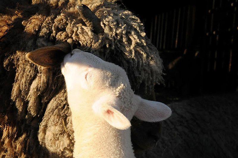 Maisie26 Очаровательная овечка Мейзи