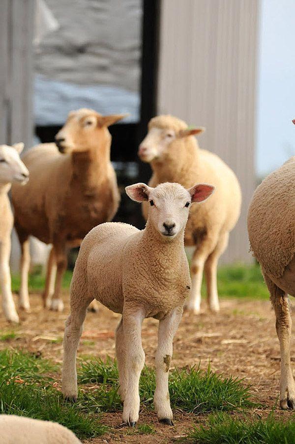 Maisie27 Очаровательная овечка Мейзи