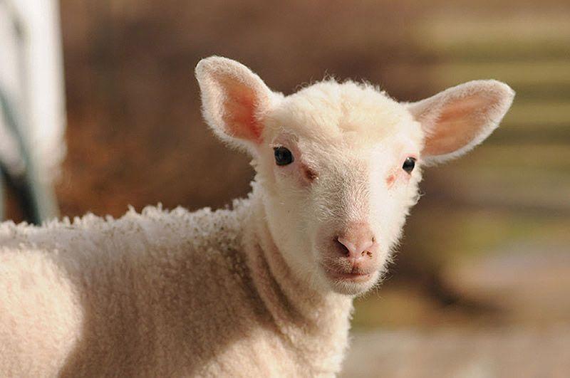 Maisie28 Очаровательная овечка Мейзи