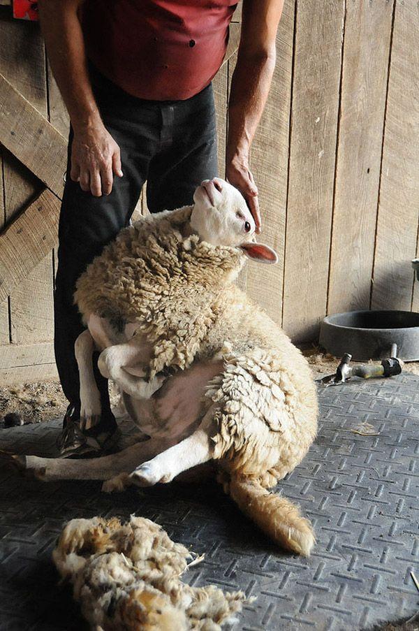 Maisie31 Очаровательная овечка Мейзи