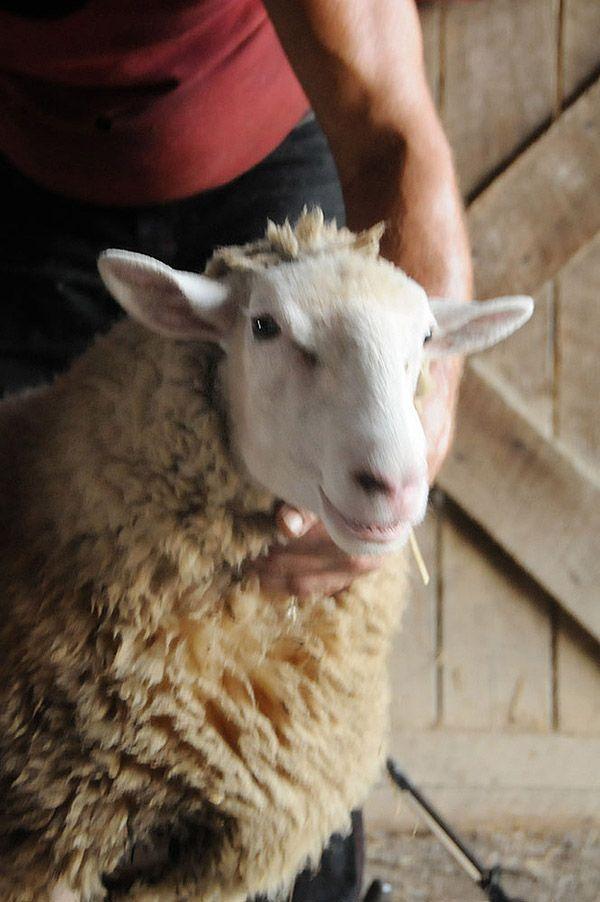 Maisie33 Очаровательная овечка Мейзи