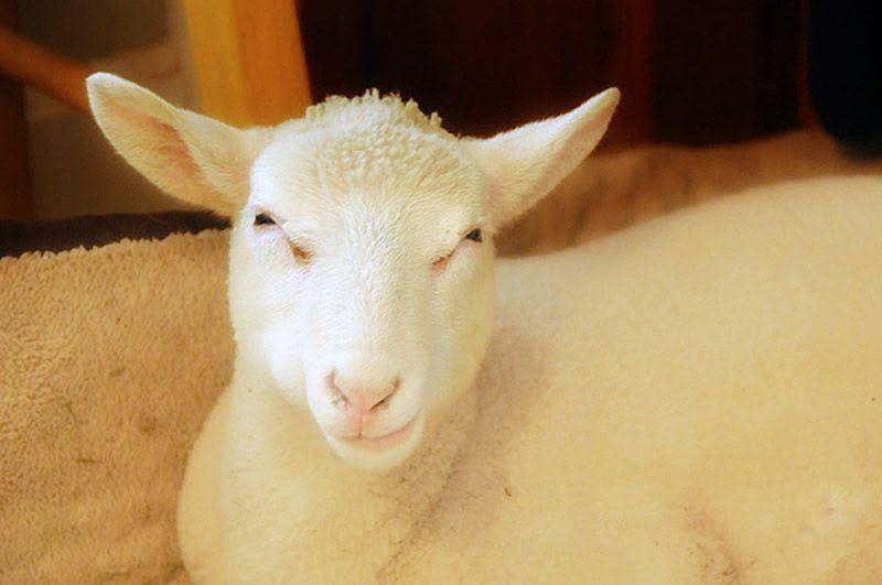 Maisie34 Очаровательная овечка Мейзи
