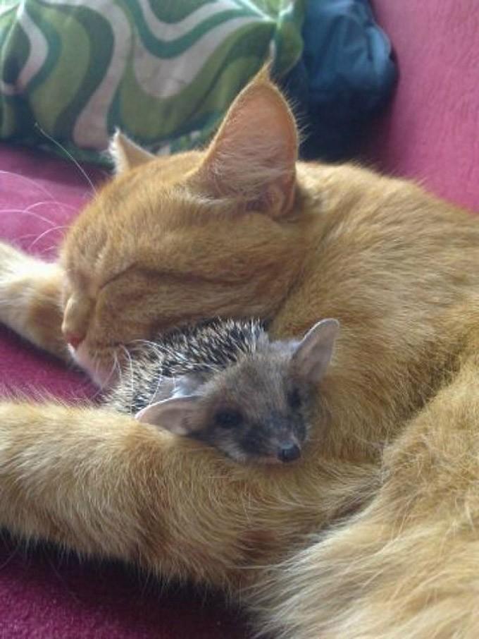 catvshedgehog34 Чем ежики лучше кошек