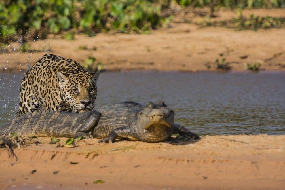 jaguar01 Ягуар против крокодила   кто кого?