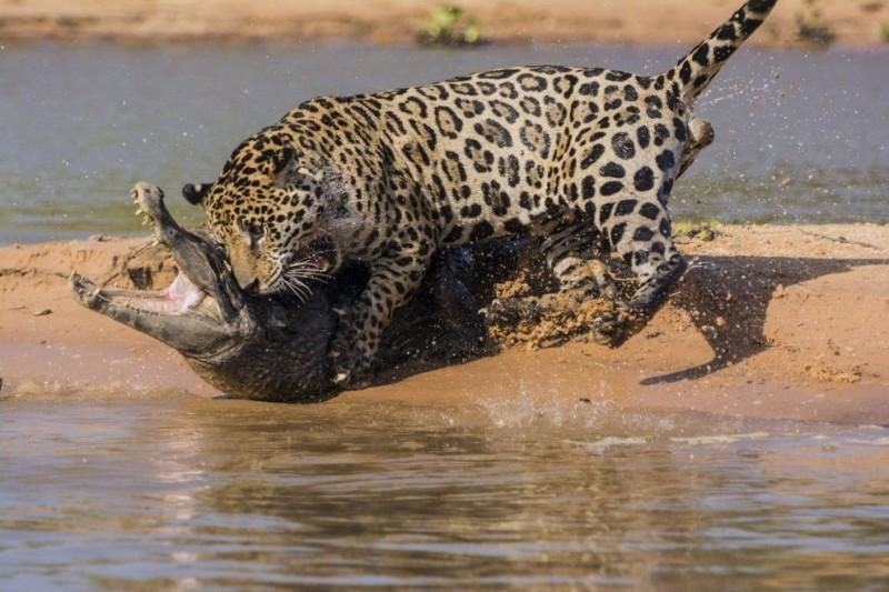 jaguar02 800x533 Ягуар против крокодила   кто кого?