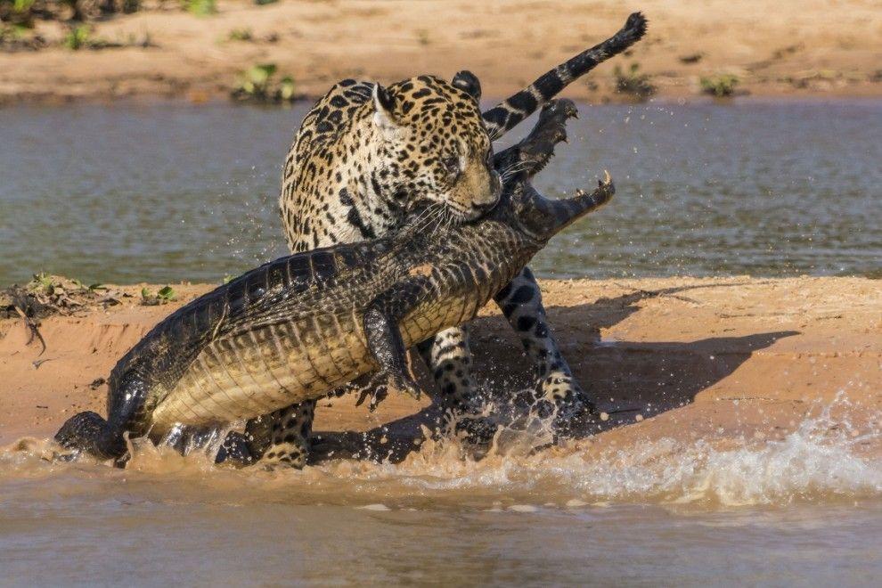 jaguar03 Ягуар против крокодила   кто кого?