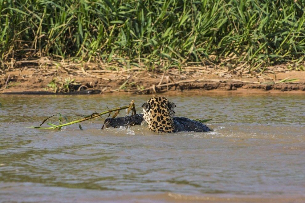 jaguar06 Ягуар против крокодила   кто кого?