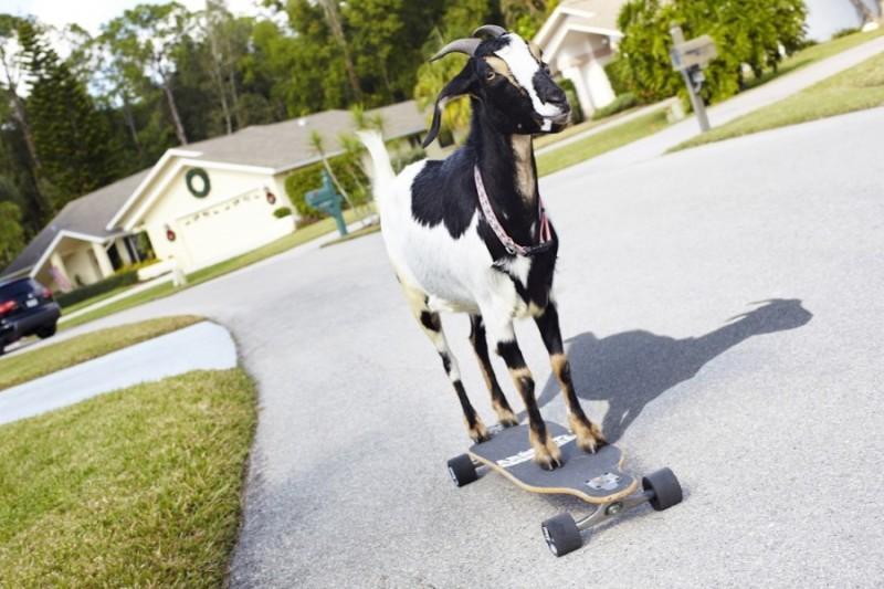 16. Коза-скейтбордист