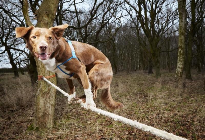 17. Собака-канатоходец