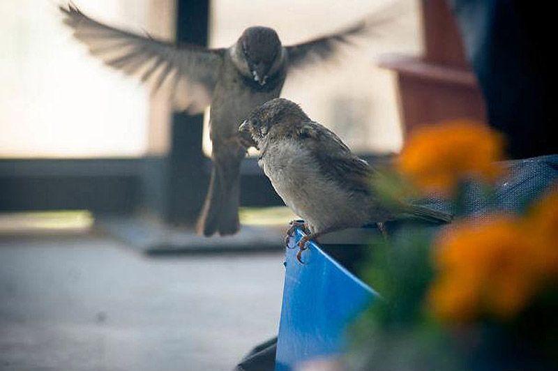 sparrow04 История о птенце воробья и человеческой доброте