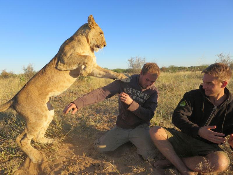 withLions06 Как я жил со львами в Ботсване