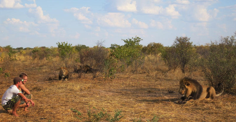 withLions12 Как я жил со львами в Ботсване