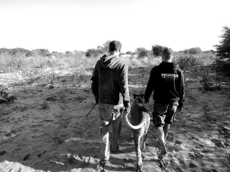 withLions14 Как я жил со львами в Ботсване