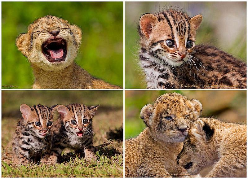 Лапочки львята и бенгальские кошки