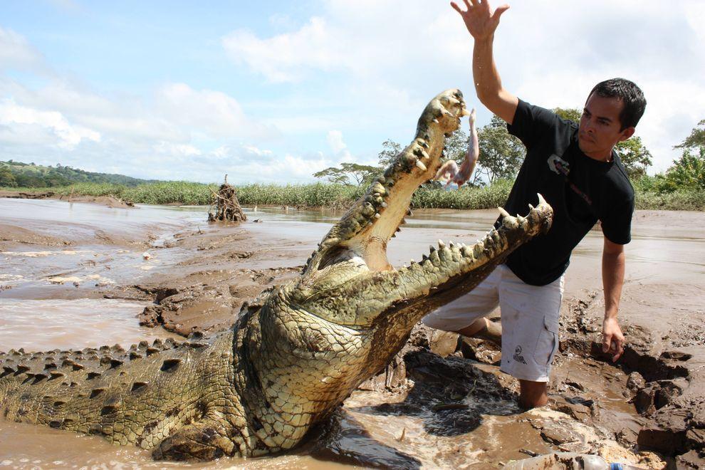 Croco05 Заклинатель крокодилов из Коста Рики
