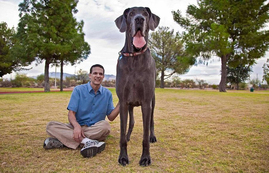 George Giant 06 В США умерла самая большая собака в мире