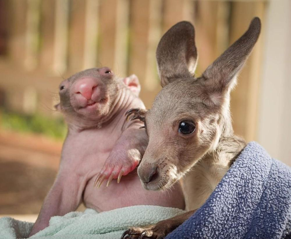 WombatKangaroo02 Сиротки вомбат и кенгуру стали лучшими друзьями