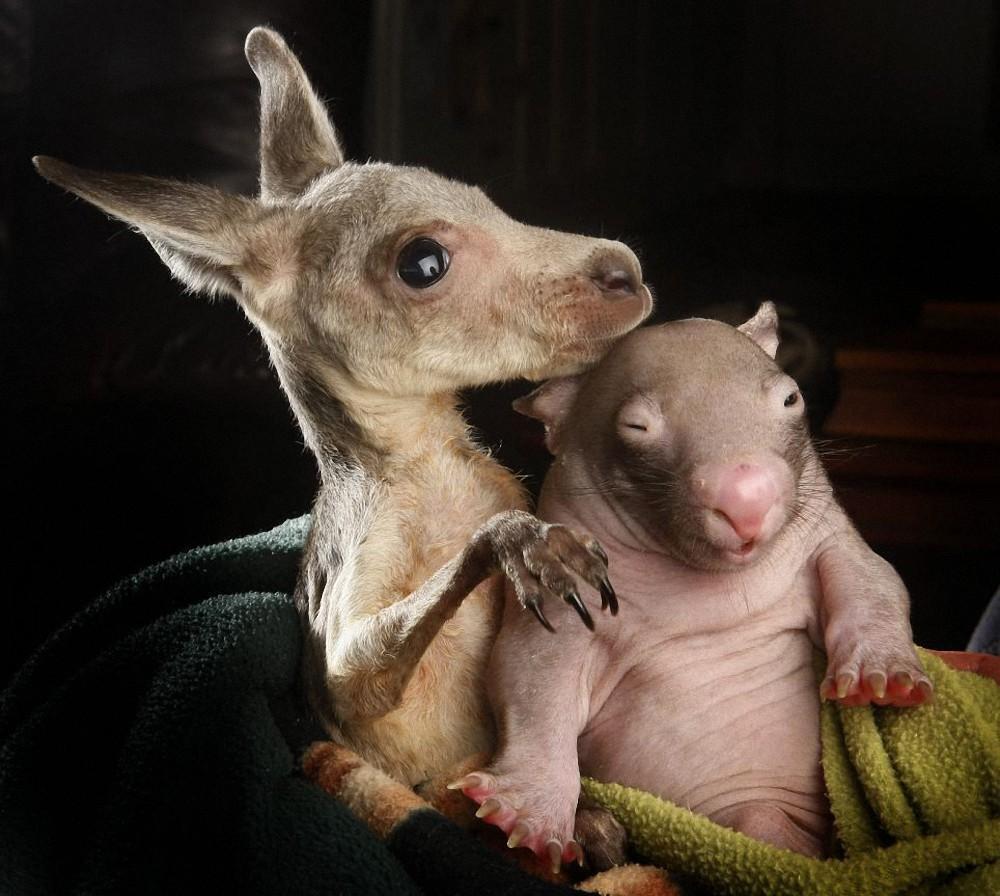 WombatKangaroo03 Сиротки вомбат и кенгуру стали лучшими друзьями