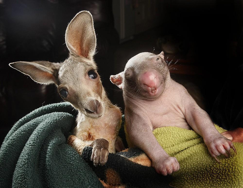 WombatKangaroo04 Сиротки вомбат и кенгуру стали лучшими друзьями