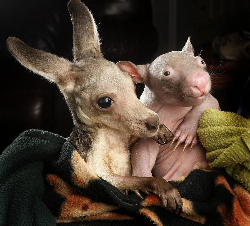 WombatKangaroo06 800x723 Сиротки вомбат и кенгуру стали лучшими друзьями