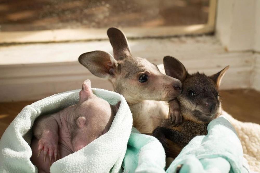 WombatKangaroo09 Сиротки вомбат и кенгуру стали лучшими друзьями