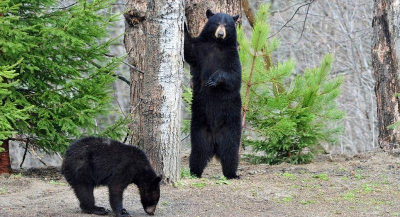 playingbears01 Очеловеченный быт семейства черных медведей