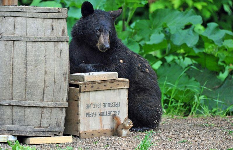 playingbears02 Очеловеченный быт семейства черных медведей