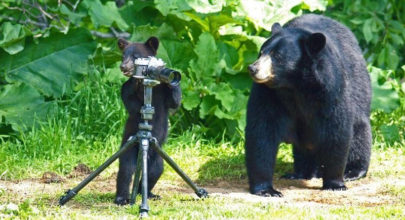 playingbears03 Очеловеченный быт семейства черных медведей