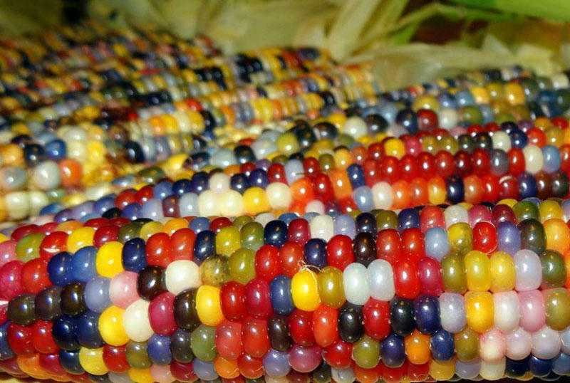 rainbowcorn01 Самая необычная кукуруза в мире