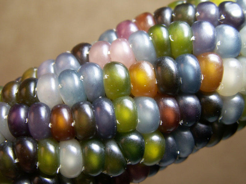 rainbowcorn03 Самая необычная кукуруза в мире