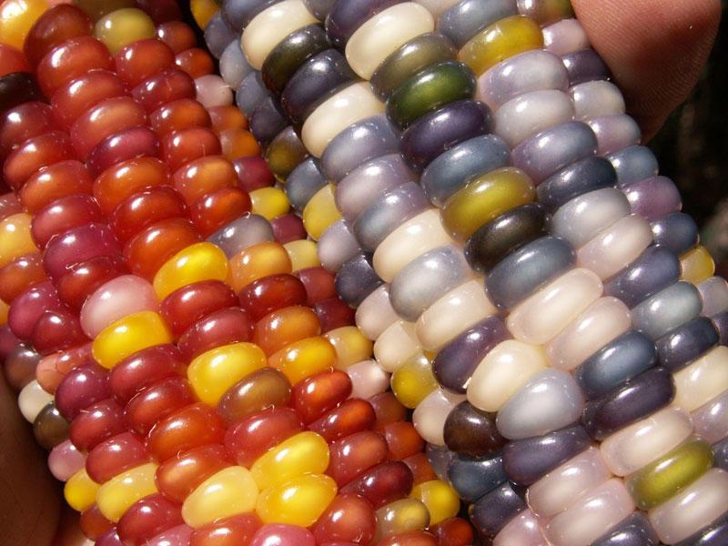 rainbowcorn10 Самая необычная кукуруза в мире