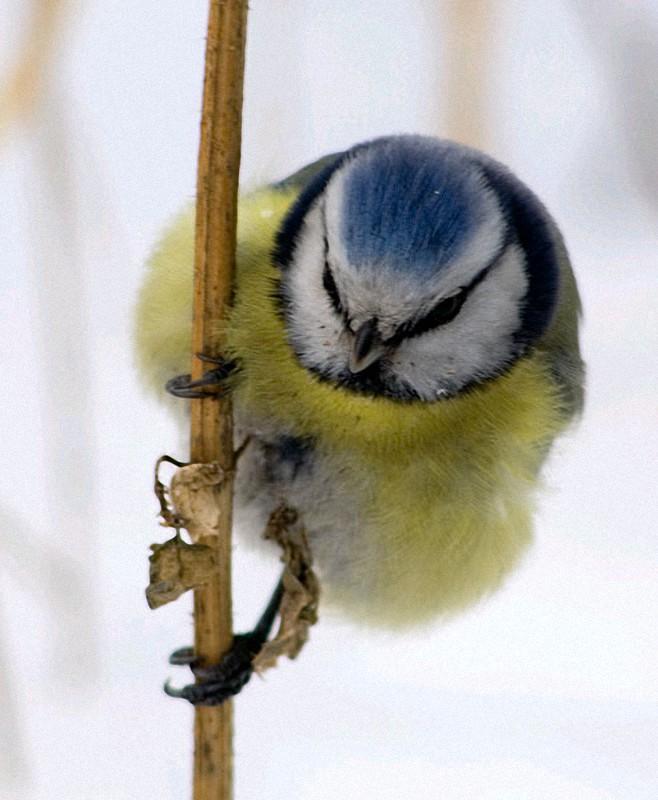 Parus01 Как помочь птицам перезимовать