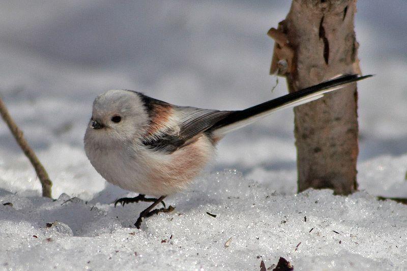 Parus02 Как помочь птицам перезимовать