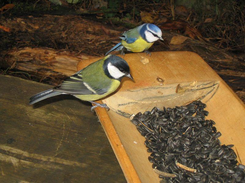 Parus05 Как помочь птицам перезимовать