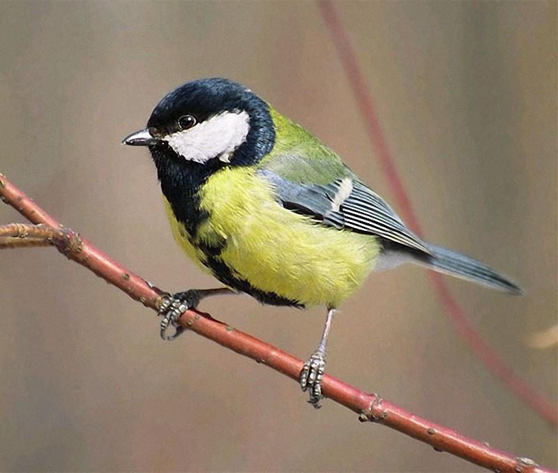 Parus07 Как помочь птицам перезимовать